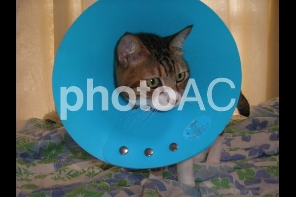 エリザベスカラーを付けた猫.jpg