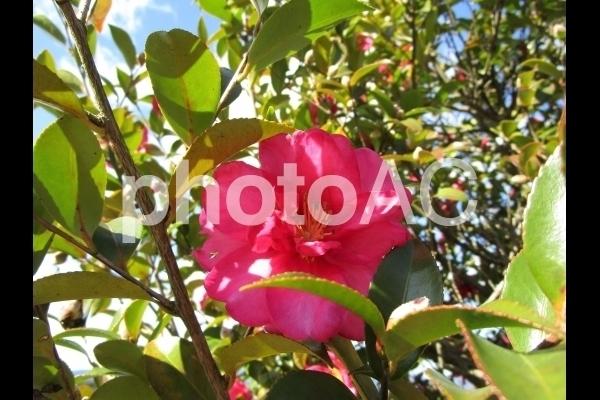 ピンクの山茶花.jpg