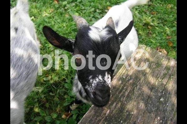 山羊の子供.jpg