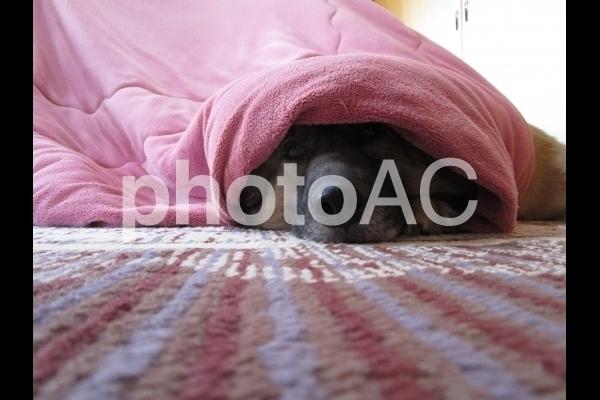 布団から顔を出す犬.jpg