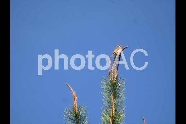 松の木の先端にとまるスズメ.jpg