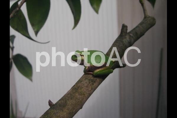 枝にとまるカエル.jpg