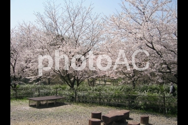 桜とベンチ.jpg