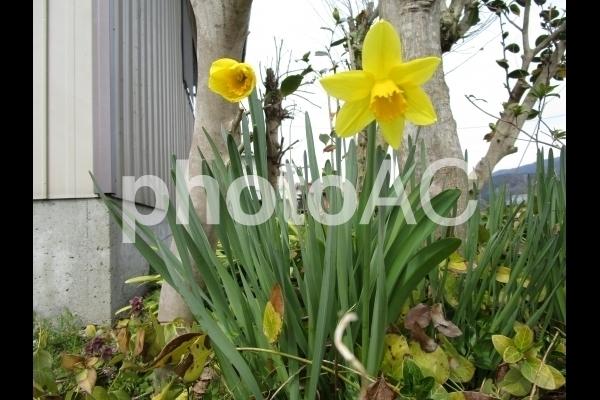 水仙の花.jpg