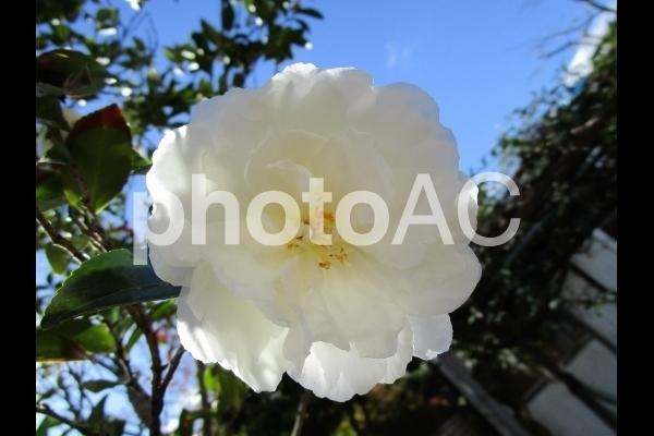 白い山茶花.jpg