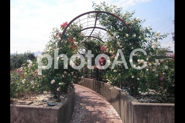 薔薇のトンネル.jpg