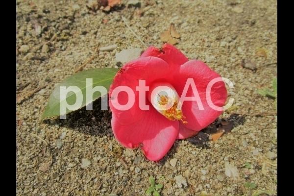 赤い椿の花.jpg