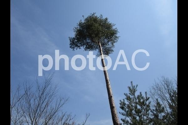 高い木.jpg